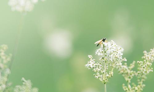 Bi suger nektar ur blomma