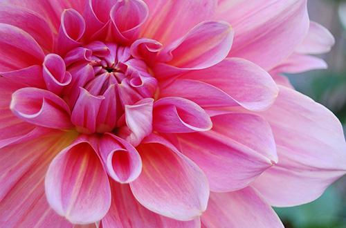 stor rosa blomma