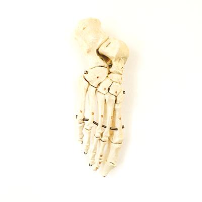 Härliga fötter skelett
