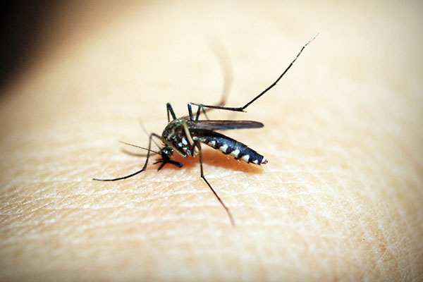 Mygga på hud